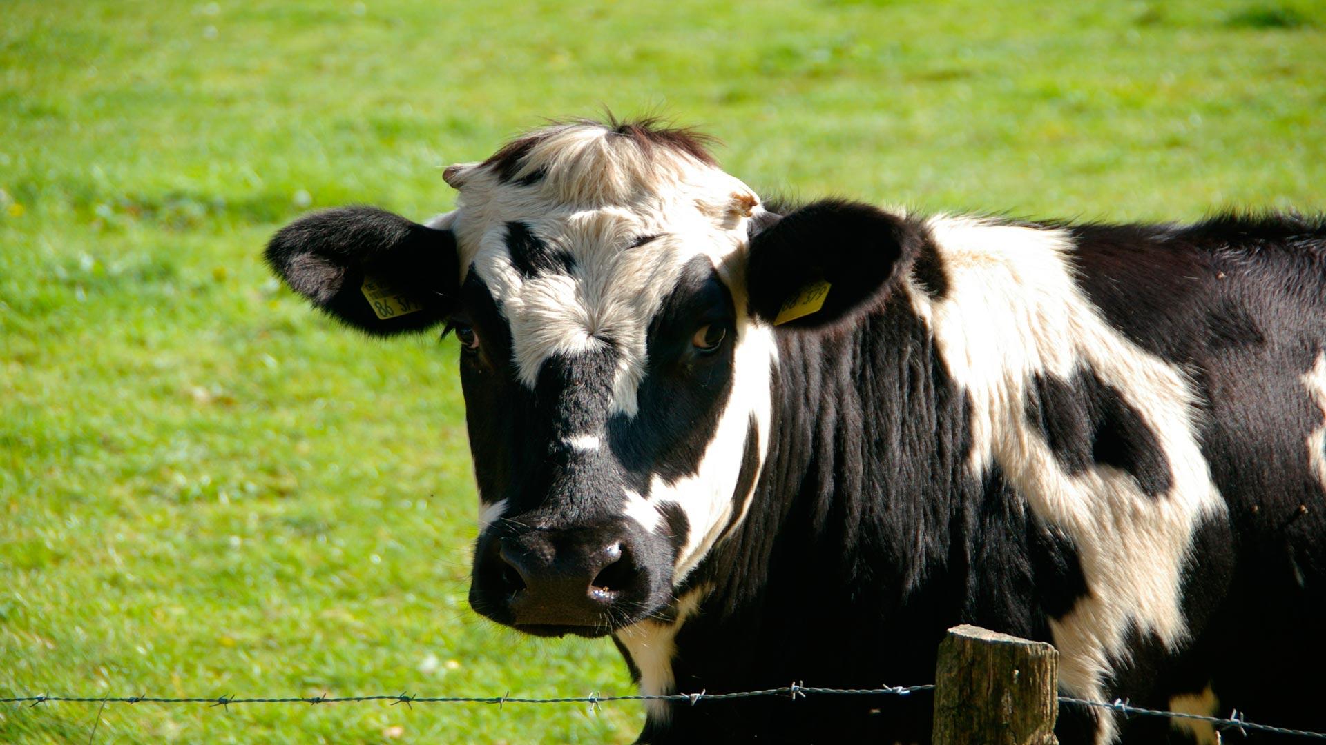 Está-claro,-el-estrés-no-es-bueno-ni-para-las-vacas-1920
