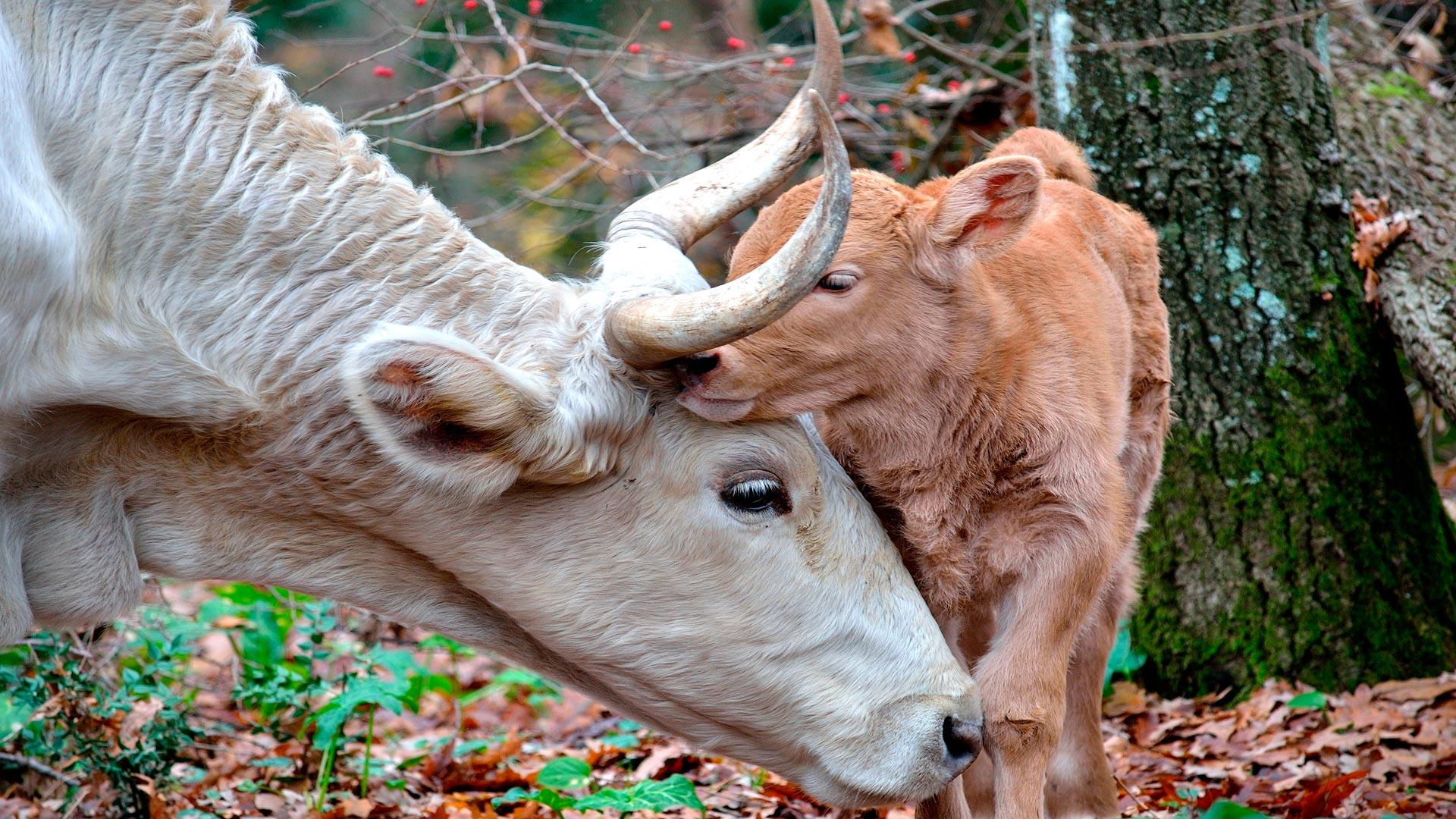 Las-vacas-ya-pueden-avisar-al-ganadero-vía-móvil-de-que-van-a-parir-en-una-hora-1920