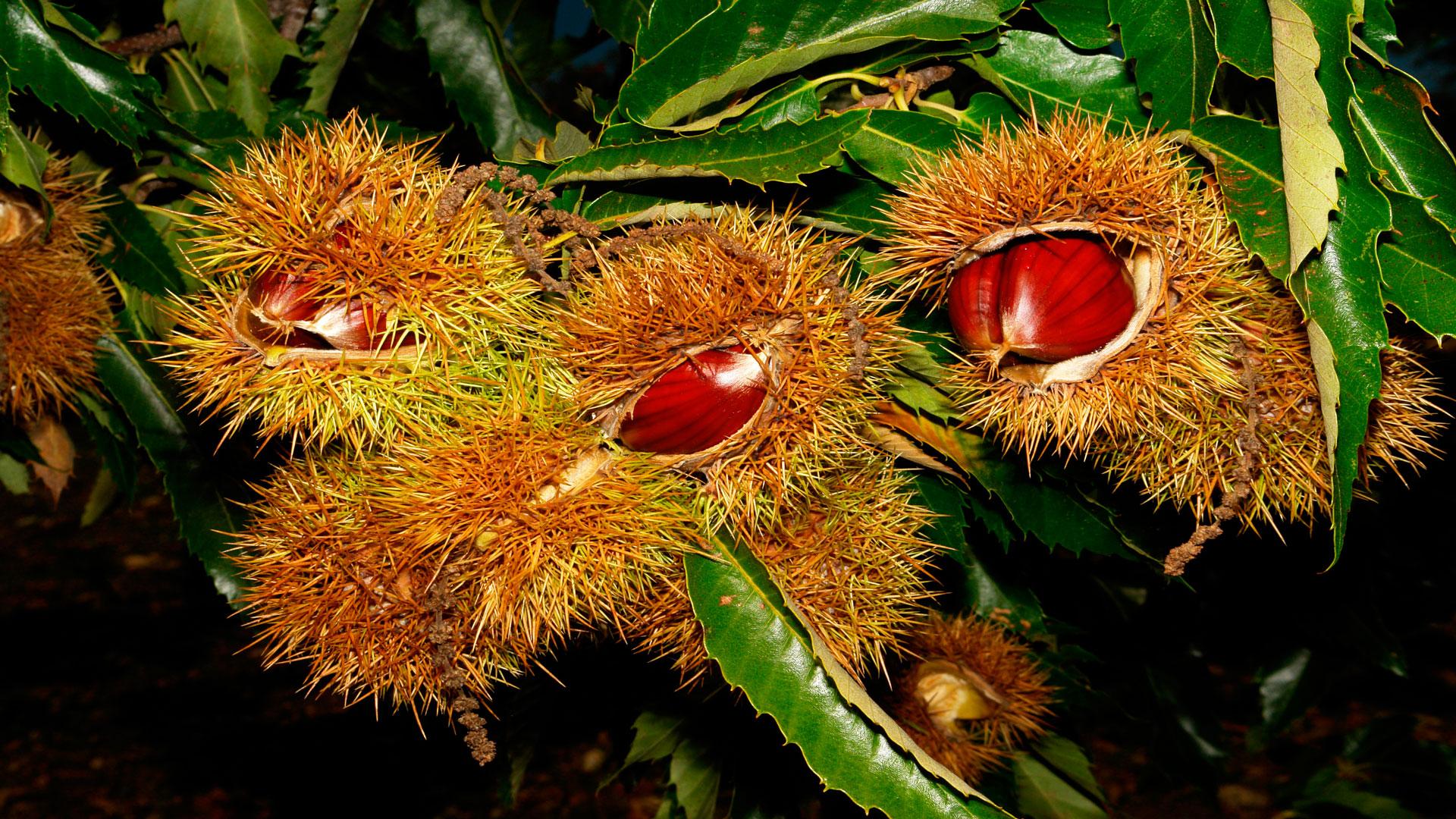 Ayudas-para-plantaciones-de-castaños-de-fruto-1920