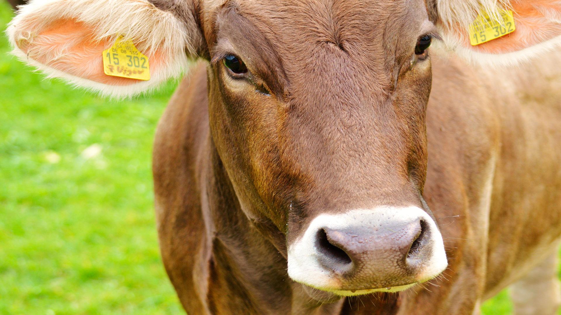 La-ganadería-con-la-mejor-calificación-genética-de-Galicia-1920