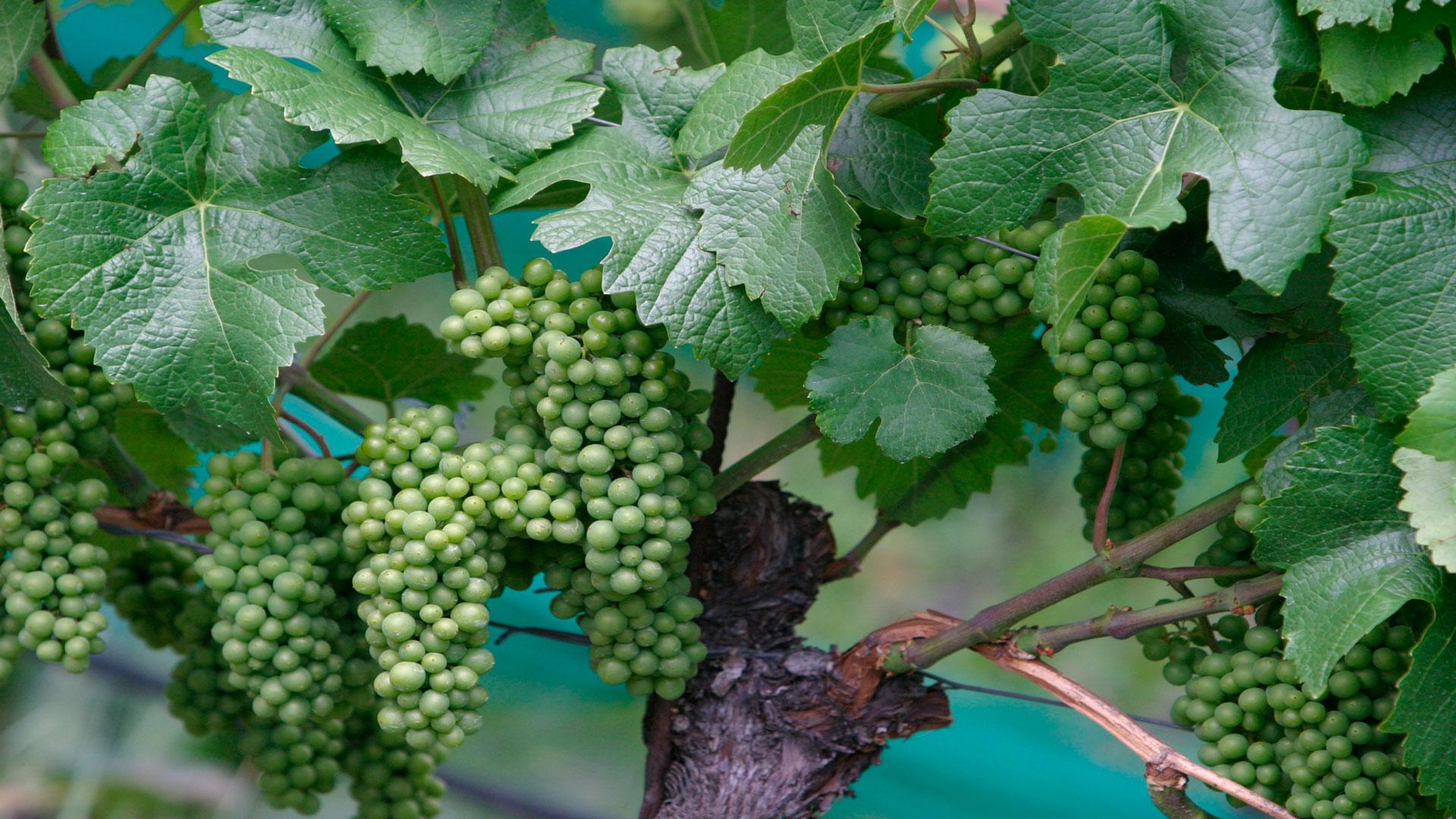 15.000-euros-para-los-viticultores-afectados-por-la-granizada-del--15-de-agosto-1920