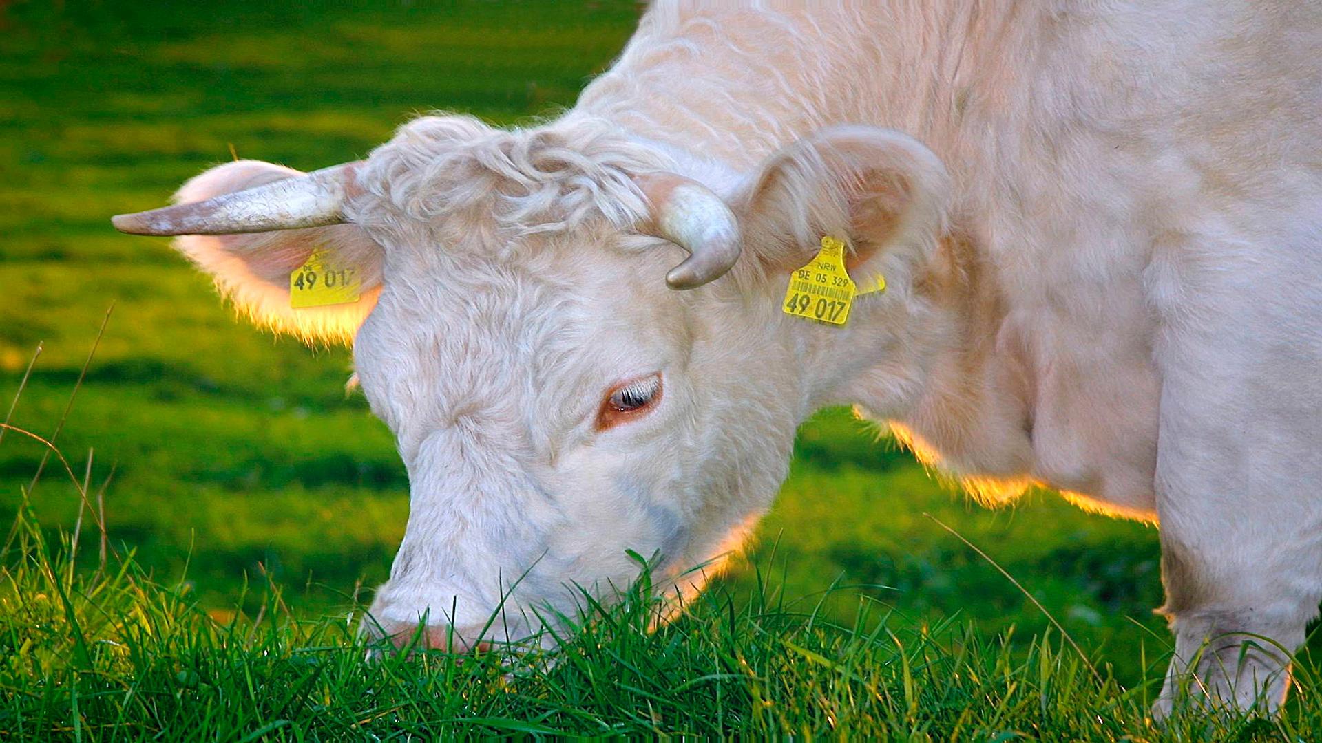 Según-lo-que-coma-la-vaca-así-será-la-calidad-de-la-grasa-de-la-leche-1920